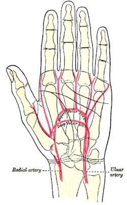 Ring Finger Innervation