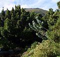 Gray waboom tree - protea nitida - with Rapanea tree in background.jpg