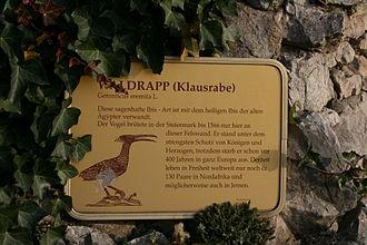 Northern bald ibis - The Austrian reintroduction