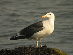 Great Black-backed Gull.jpg