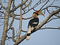 Great Hornbill DSCN8644 01.jpg