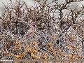 Great Rosefinch (Carpodacus rubicilla) (32667712540).jpg