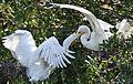 Great egret feeding chick by Bonnie Gruenberg1.jpg