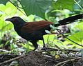 Greater Coucal (Centropus sinensis) - Flickr - Lip Kee (1).jpg