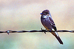 Greater Pewee.jpg