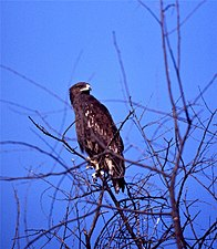 Greater Spotted Eagle (Aquila clanga) (20592237350).jpg