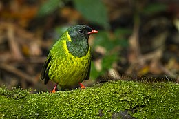 Green-and-black Fruiteater - Colombia S4E1819.jpg