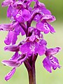 Green-winged Orchid (34354482181).jpg