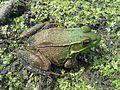 Green Frog, Rana clamitans - Flickr - GregTheBusker.jpg