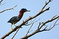 Green Heron at Sleepy Hollow Lake.jpg