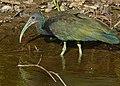 Green Ibis (Mesembrinibis cayennensis) (30903118634).jpg