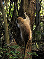 Green Monkey in Barbados 10.jpg