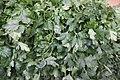 Green parsley on the market Danilovsky Market, Moscow, Russia (38901413590).jpg
