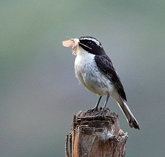 Grey bush chat - Image: Grey Bushchat (Male) I IMG 6746