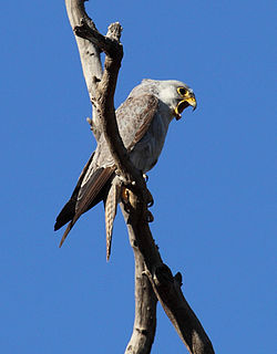 Grey falcon species of bird