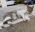 Grey and white cat 05 (cropped).jpg