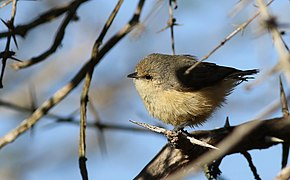 Grey penduline tit, Anthoscopus caroli, also known as the African penduline-tit at Ndumo Nature Reserve, KwaZulu-Natal, South Africa (28886243736).jpg