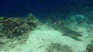 File:Grey reef shark (Carcharhinus amblyrhynchos) near Sipadan.webm