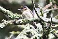 Greyish Piculet (Picumnus granadensis) (8079751352).jpg