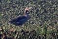 Greylag goose DSCN9182 1.jpg