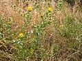 Grindelia squarrosa (4031011454).jpg