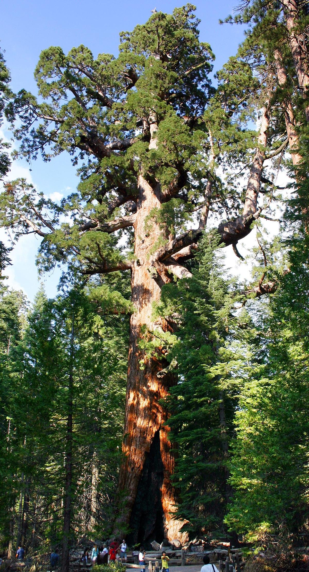 Sequoiadendron giganteum - Wikipedia