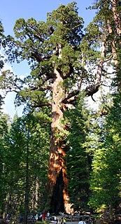 <i>Sequoiadendron giganteum</i> Species of plant