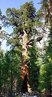 "The ""Grizzly Giant"" tree in Mariposa Grove, منتزه يوسيميتي الوطني"