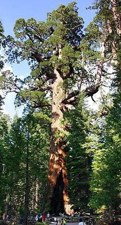 Grizzly Giant Mariposa Grove.jpg