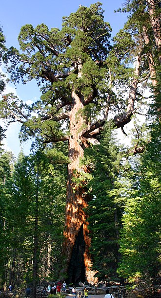 "Sequoiadendron giganteum - The ""Grizzly Giant"" in the Mariposa Grove, Yosemite National Park"