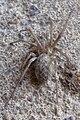 Große Winkelspinne Eratigena atrica 9405.jpg