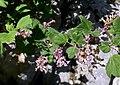 Groseillier à fleurs près de Chambéry après floraison (avril 2020).JPG