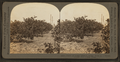 Grove of Young Sastuma Orange Trees on a Private Estate, Port Arthur Texas, by Keystone View Company.png