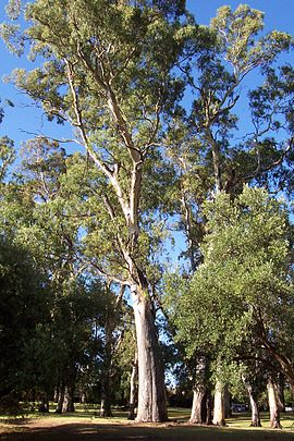 Gum tree hazelwood park.jpg