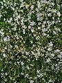 Gypsophila repens 001.JPG
