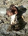 Gyromitra esculenta.jpg