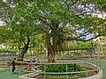 HK 佐敦 Jordan 西貢街遊樂場 Saigon Street Playground Jan-2014 Chinese Banyan trees.JPG