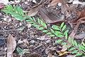 HK CWB 高士威道 Causeway Bay Road 維多利亞公園 Victoria Park green plant Sept 2017 IX1 地锦草 Humifuse Euphorbia Herb green leaves.jpg