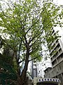 HK Sheung Wan New Street banyan tree 樂善堂梁銶琚書院 Lok Sin Tong Leung Kau Kui College Dec-2015 DSC.JPG