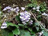 Haberlea rhodopensis wild Bulgaria.jpg