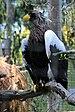 Haliaeetus pelagicus -San Diego Zoo -aviary-8d.jpg