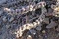 Halogeton glomeratus (29241273223).jpg