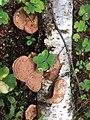 Hapalopilus rutilans 46803641.jpg