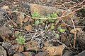 Haría Ye - Calle San Francisco Javier-LZ-201 - Euphorbia segetalis 03 ies.jpg
