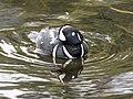 Harlequin Duck 150 (41590265034).jpg