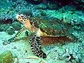 Hawksbill Turtle found at Sinandigan Wall, Sabang, Mindoro Island, Philippines.jpg