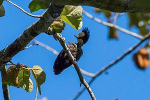 Heart-spotted woodpecker - Female