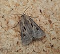 Heart and Dart. Agrotis exclamationis (35861127923).jpg