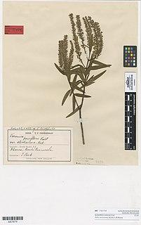 <i>Veronica strictissima</i> Species of flowering plant in the family Plantaginaceae