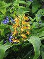 Hedychium coccineum & Salvia guaranitica Black & Blue (9994834735).jpg